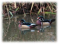Ducks-Feng-Shui