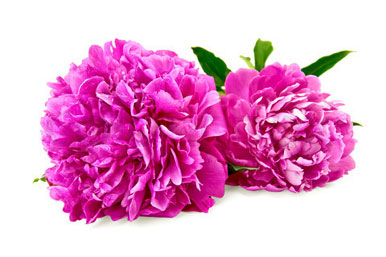 two-pink-peonies-feng-shui-peach-blossom